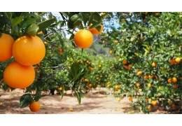 Concimazione agrumi: quando concimare e che prodotti usare per produrre dei buoni agrumi